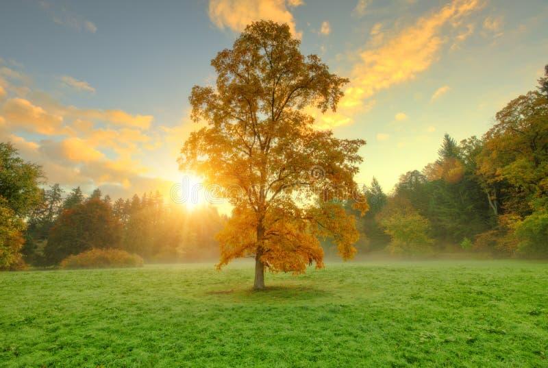 Härligt guld- kulört höstträd i äng arkivfoto