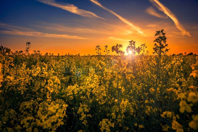 Härligt gult canolafält i solnedgången mot en molnig himmel arkivbilder