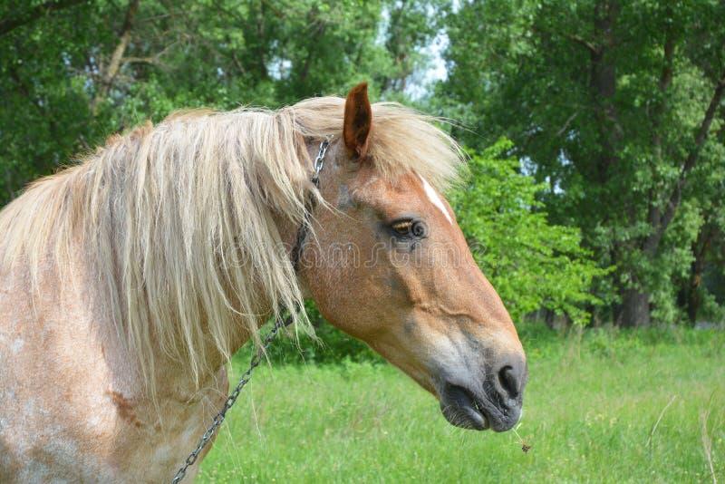 Härligt hästhuvud med flocken Hästen på lantgården betar på en solig dag royaltyfri bild