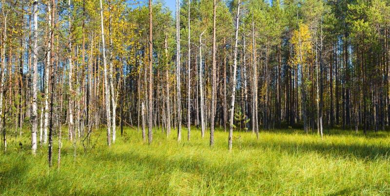 Härligt höstlandskap med björkar och grönt gräs solig da arkivbild