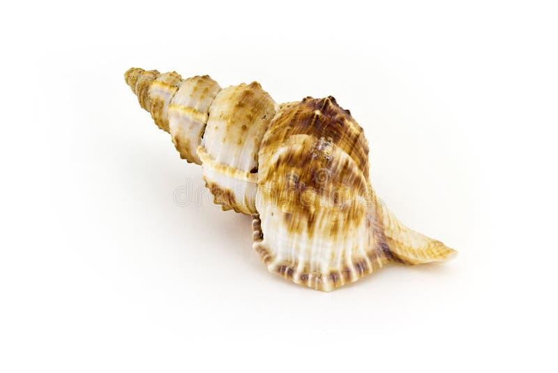 Härligt havsskal, Nobilis Bursa, på vit bakgrund arkivbilder
