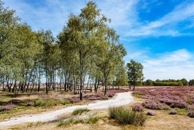 Härligt holländskt landskap med blomningljung arkivfoto