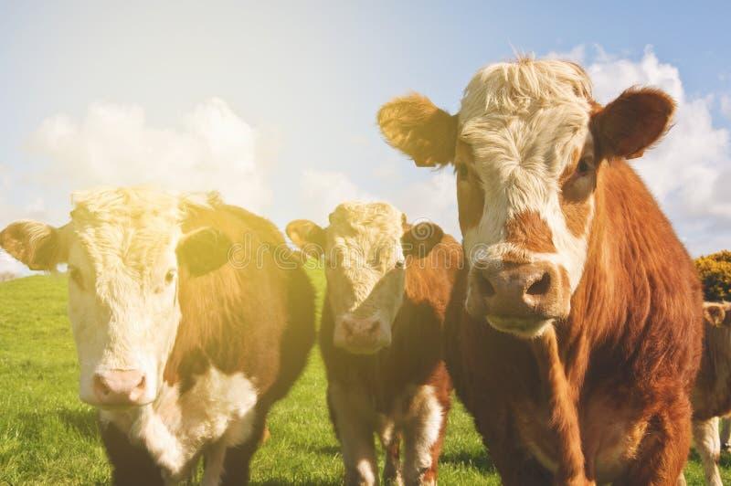 Härligt irländskt lantligt countysidefotografi med kor i en gräsplan royaltyfri bild