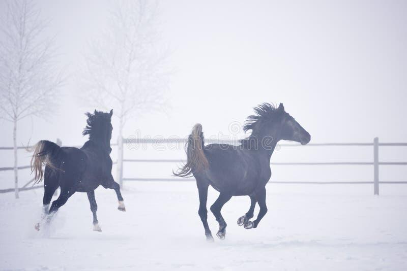 Härligt köra för hästar som är utomhus- i vinter arkivbilder