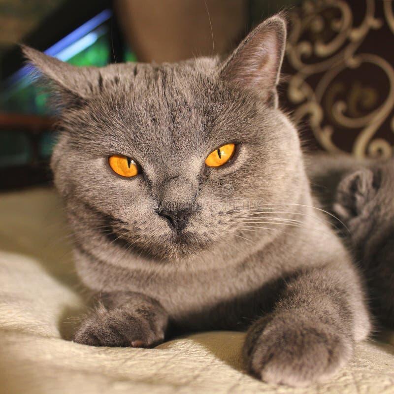 Härligt kattslut upp arkivfoton