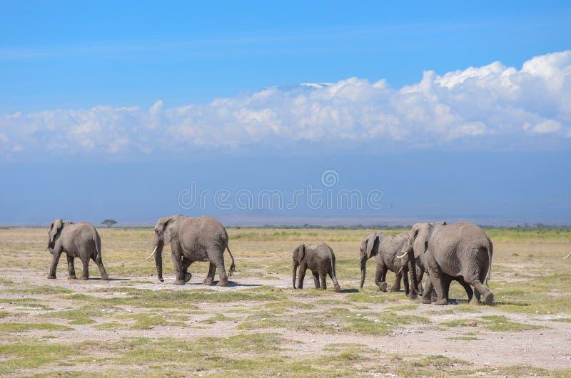Härligt Kilimanjaro berg och elefanter, Kenya, Amboseli, Afrika royaltyfria foton