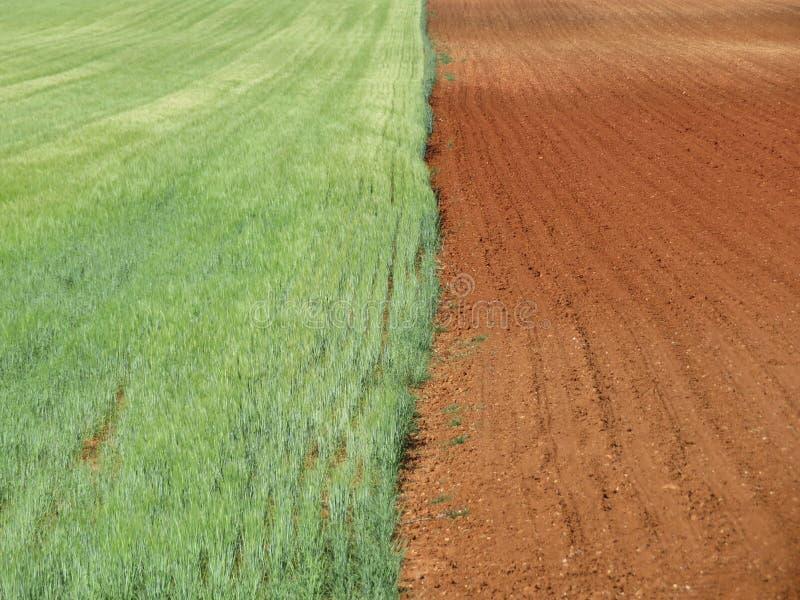 Härligt kornfält som väntar för att vara gult och torrt att skördas royaltyfria bilder