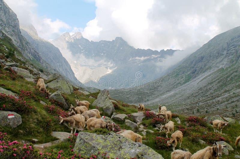 Härligt landskap av adamellodalen med en flock av getgraen arkivfoto