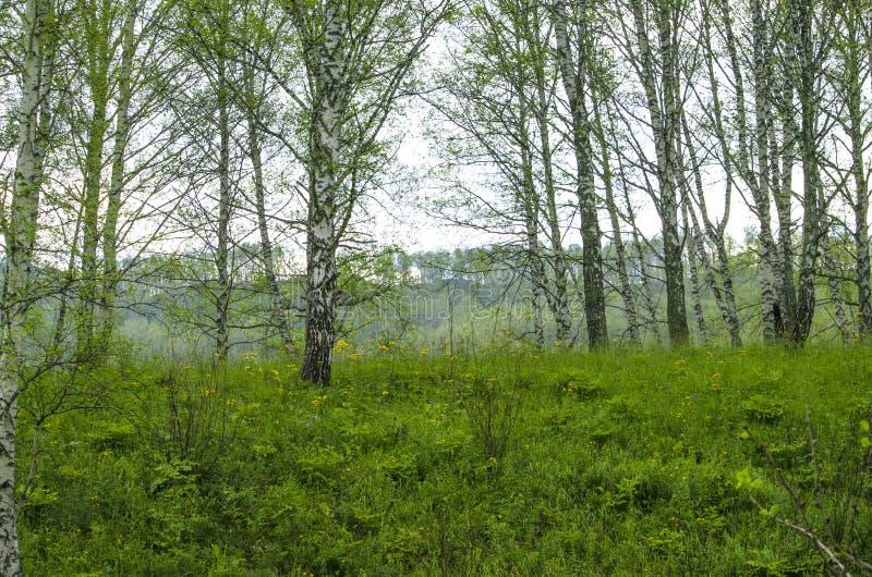 Härligt landskap av björken på kullen royaltyfri fotografi