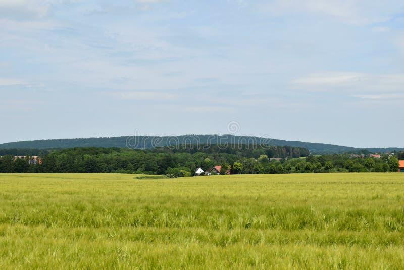 Härligt landskap av fältet av korn i sommaren på aftontiden, mörka moln arkivbilder