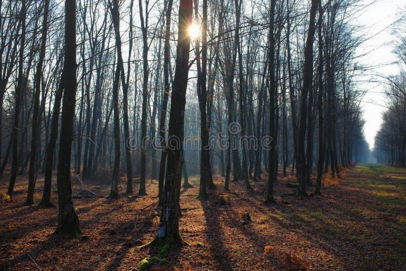 Härligt landskap av kala träd för vinter med solstrålen arkivfoton