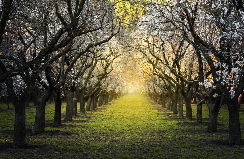 Härligt landskap bland mandelträd på gult ljus för afton arkivfoto
