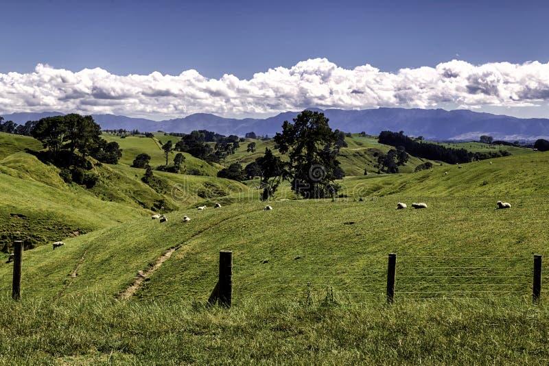 Härligt landskap för gröna kullar med betande får i Nya Zeeland arkivfoton
