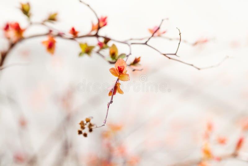Härligt landskap för vårtid filial med att blomstra röda rosa färgsidor makrobildväxt, solig dag i parkera arkivbild