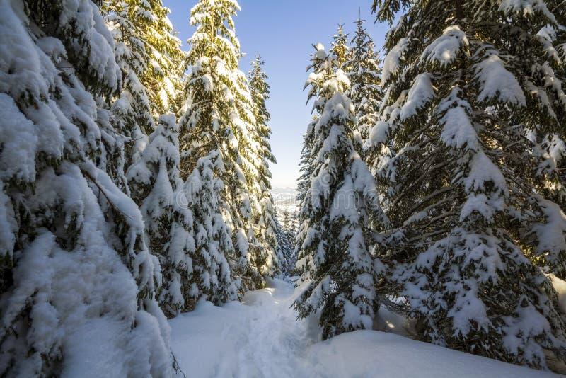 Härligt landskap för vintersagaberg Rader av högväxt mörkt - gröna granträd som täckas med tjock snö Ensam bana i skog arkivbild