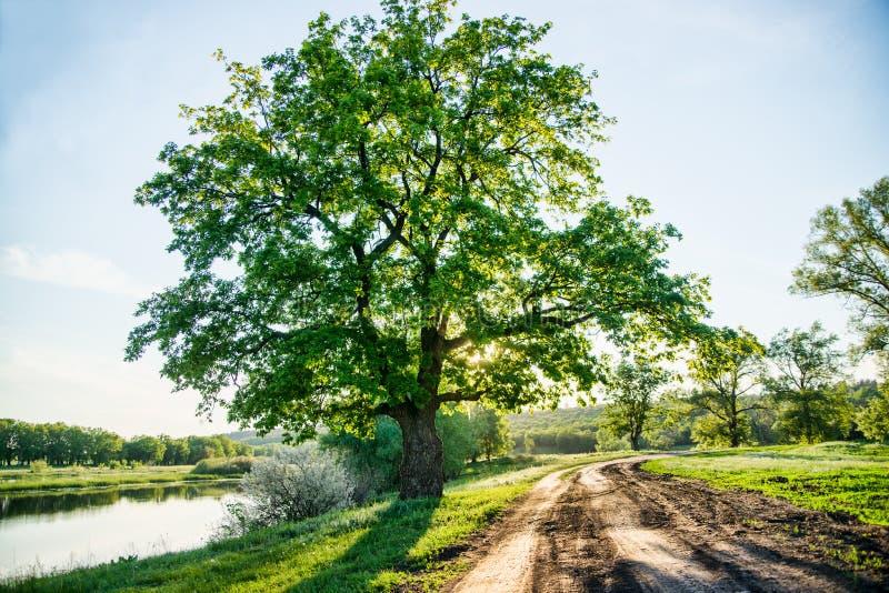 Härligt lantligt landskap, en landsväg och ett enormt grönt träd, stor urgammal ek royaltyfria bilder