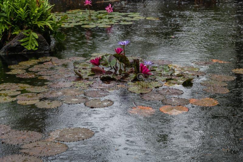Härligt liljadamm på Oahu, Hawaii fotografering för bildbyråer