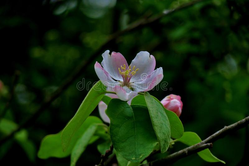 Härligt litet vitt och rosa blommaslut upp royaltyfri fotografi
