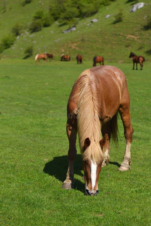 Härligt ljus - brun häst som äter på fält för grönt gräs mot royaltyfri bild