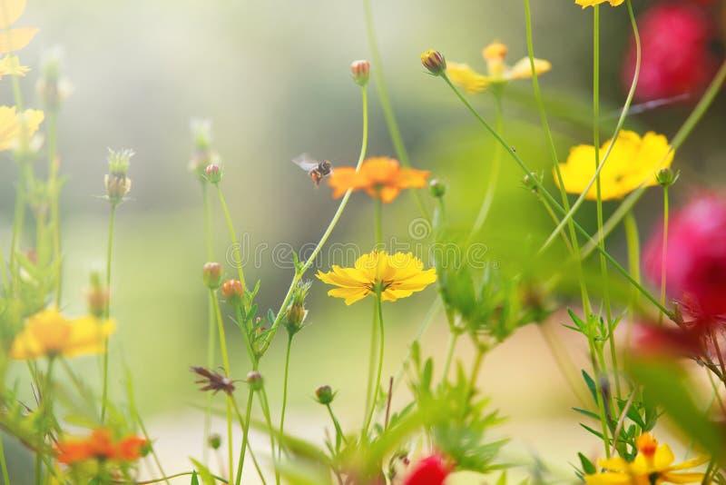 Härligt ljus med det gula kosmosblommafältet med grunt djup av fältbruk som naturlig bakgrund, bakgrund arkivfoton