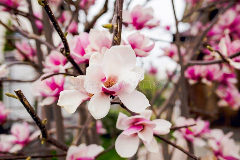 Härligt ljus - rosa magnoliablommor royaltyfri bild