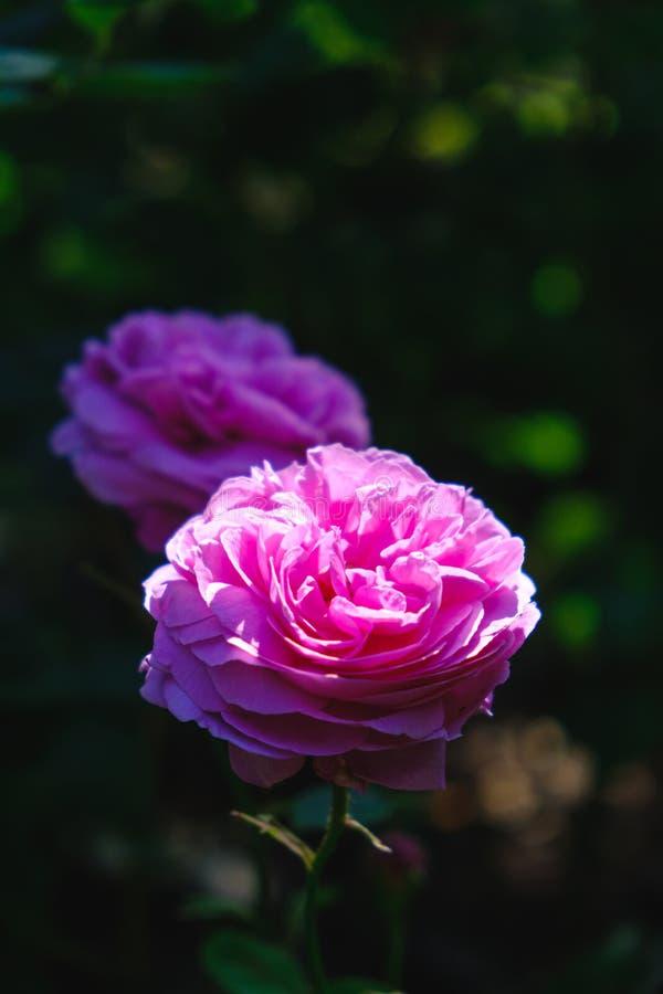 Härligt ljus som faller på rosa rosor i en trädgård arkivbilder
