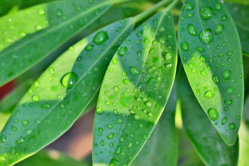 Härligt ljust - gröna sidor med regndroppar royaltyfri foto