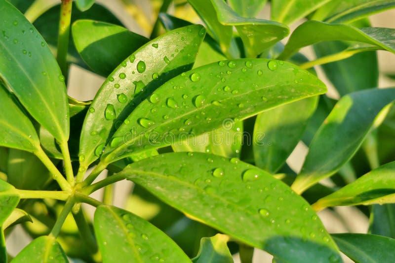 Härligt ljust - gröna sidor med regndroppar arkivbild
