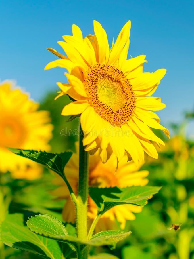 Härligt ljust solrosfält och bakgrund för blå himmel med en stor blommande gul blomma i fokus Närbildlodlinje royaltyfri foto