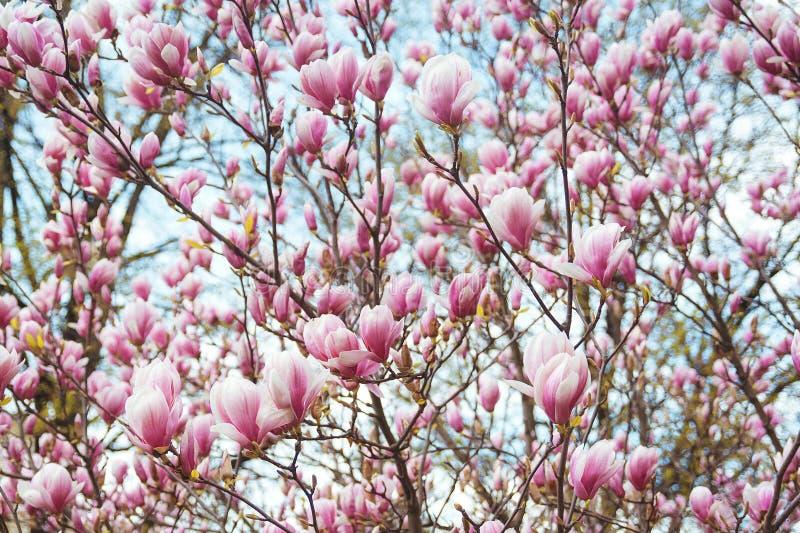 Härligt magnoliaträd i vår royaltyfri bild