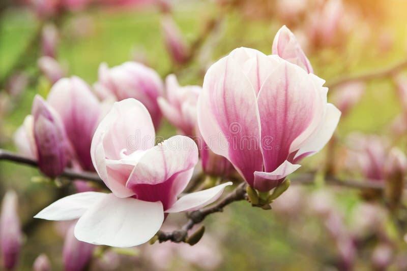 Härligt magnoliaträd i vår arkivfoton