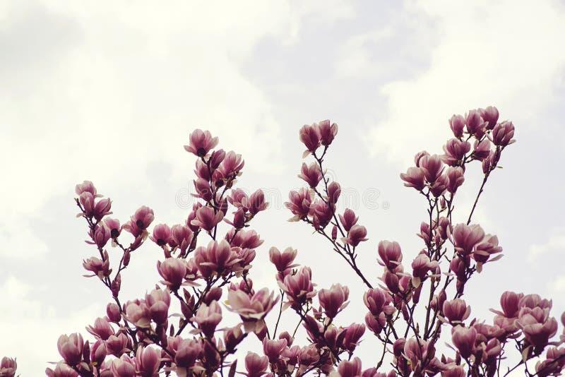 Härligt magnoliaträd i vår fotografering för bildbyråer