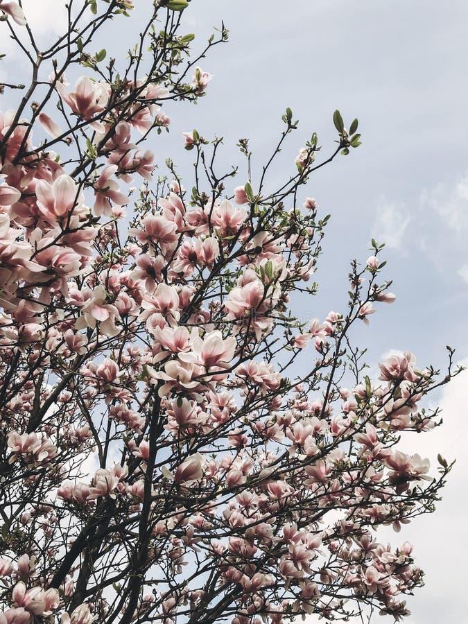 Härligt magnoliaträd på bakgrund av solig himmel Vita och rosa magnoliablommor på trädfilialer Hälsningar fjädrar lyckliga mödrar fotografering för bildbyråer
