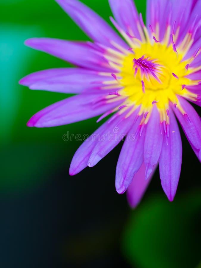 Härligt makroskott av den gula lila- och rosa färglotusblommacloseupen med bakgrund för suddighetslotusblommasidor och den mörka  royaltyfri bild