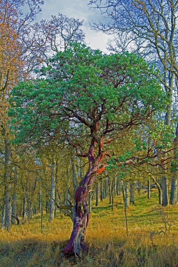 Härligt Manzanita träd royaltyfria bilder