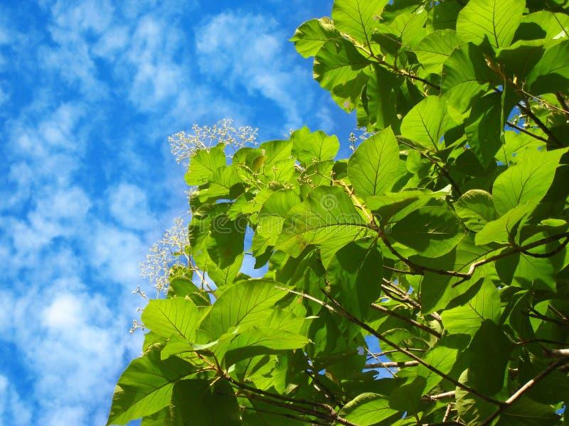 Härligt naturfoto av det burmese teakträträdet med gröna sidor arkivfoton