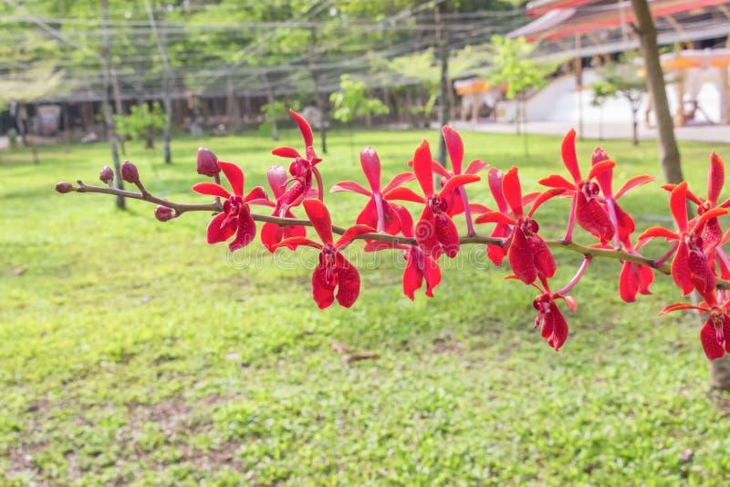 Härligt naturligt för röda orkidér royaltyfria foton