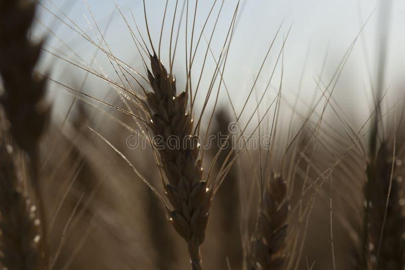 Härligt natursolnedgånglandskap Öron av det guld- veteslutet upp Lantlig plats under solljus Sommarbakgrund av att mogna öranolla arkivbild