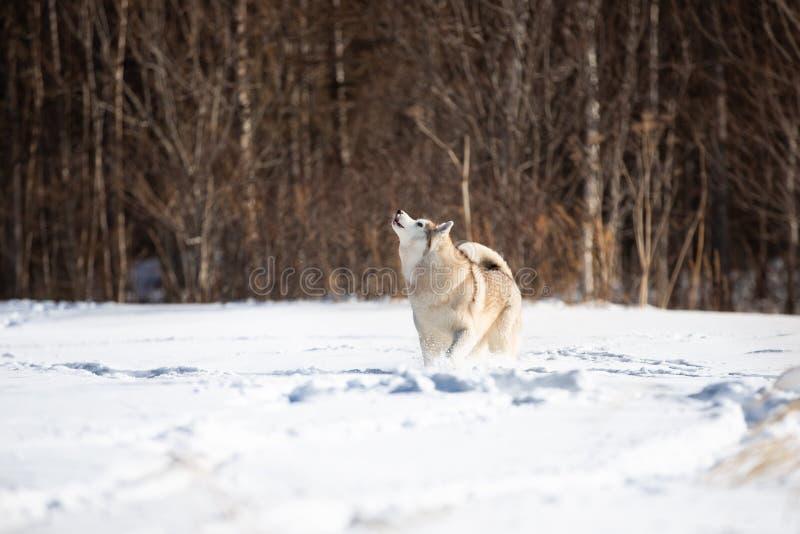 Härligt och gulligt siberian skrovligt hundanseende och tjuta i snöfältet i vinter på skogbakgrund royaltyfria bilder