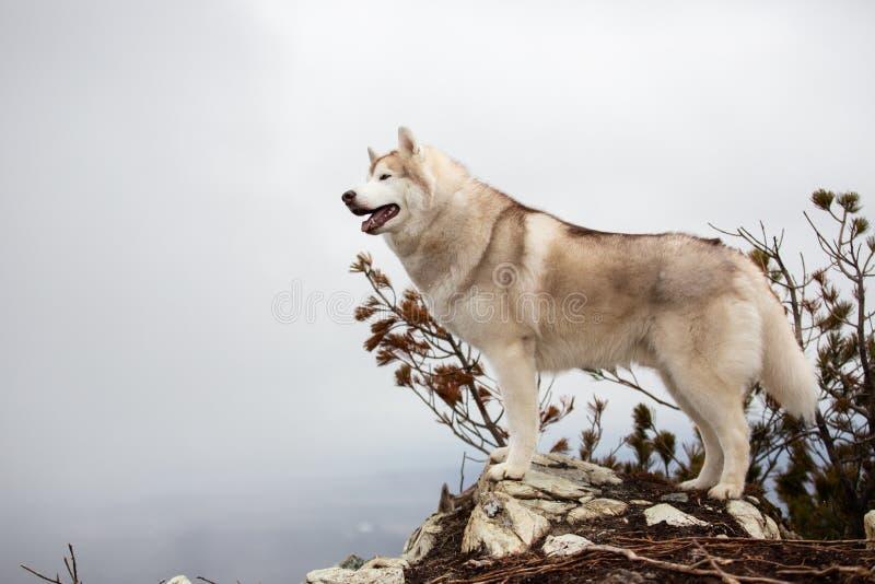 Härligt och lyckligt beige och vitt Siberian skrovligt hundanseende på berget En hund p? en naturlig bakgrund arkivfoto