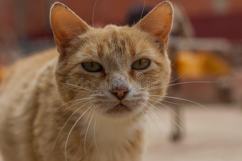 Härligt orange slut för strimmig kattkatt upp arkivbild