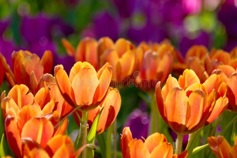 Härligt orange tulpanblommafält i trädgård royaltyfri bild