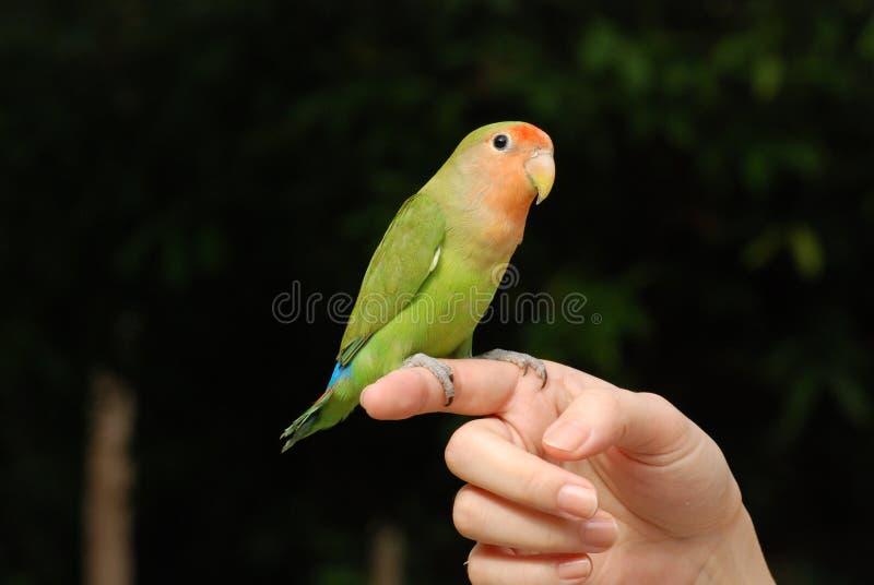 Härligt papegojahusdjur royaltyfria foton