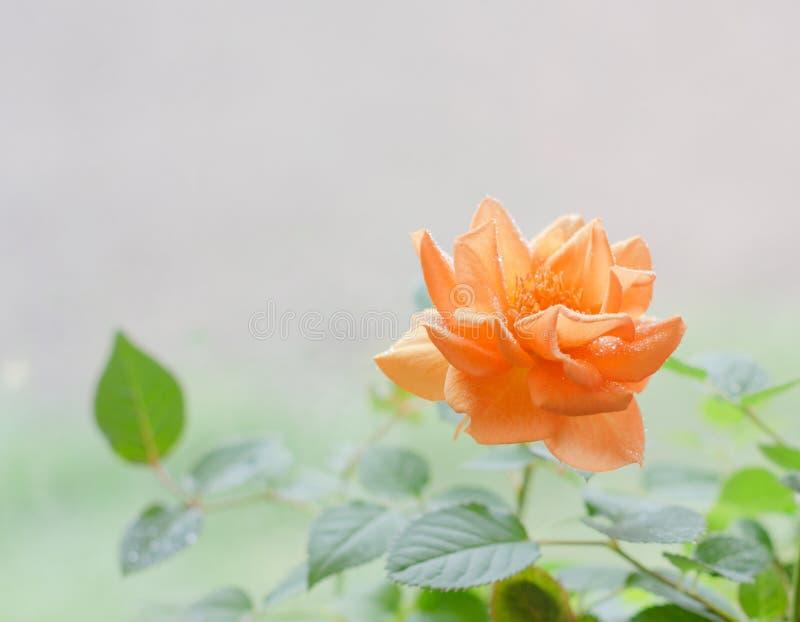 Härligt persikate steg från bästa sikt royaltyfri foto