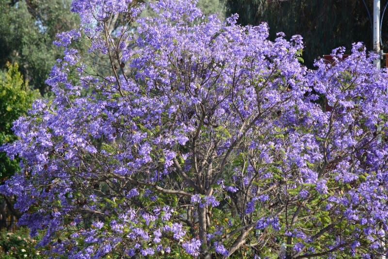 Härligt purpurfärgat blomningträd royaltyfri bild