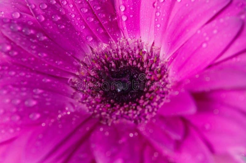 Härligt purpurfärgat magentafärgat slut för blommabakgrundstextur upp purpurfärgad gerbera med daggdroppar överst royaltyfri fotografi