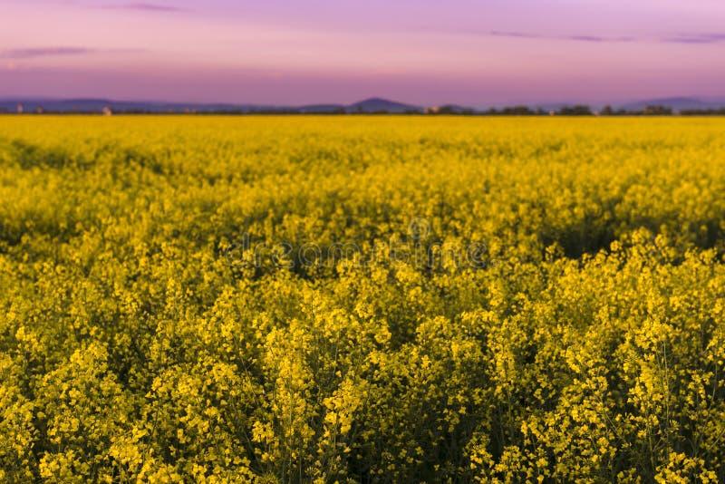 Härligt purpurfärgat solnedgångljus i en vårafton över färgrika ljusa gula skördar för rapsfrö (Brassicanapus) Trevliga gula blom arkivfoton