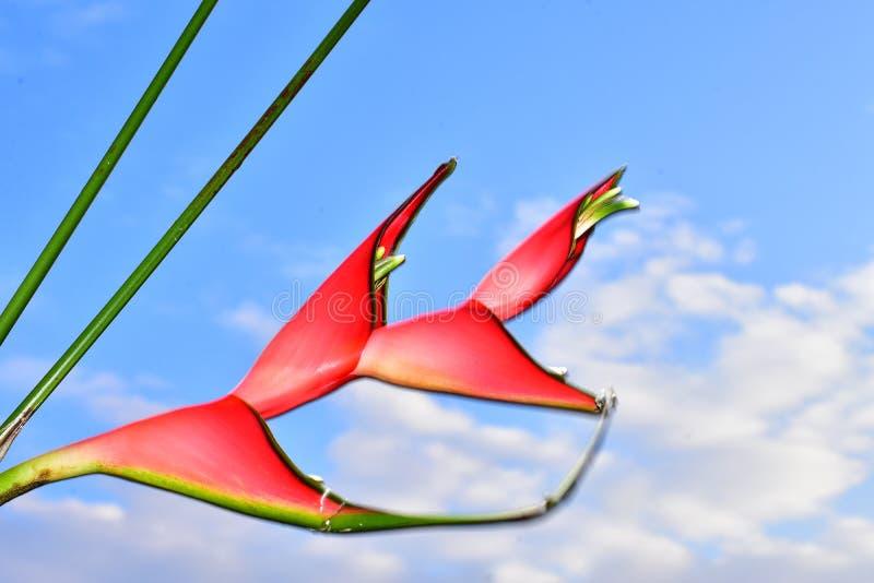 Härligt rött exotiskt blommaslut upp i solskenet arkivfoto