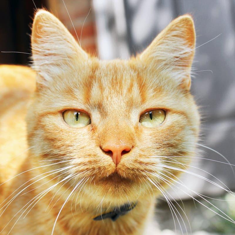 Härligt rött kattslut upp royaltyfri fotografi