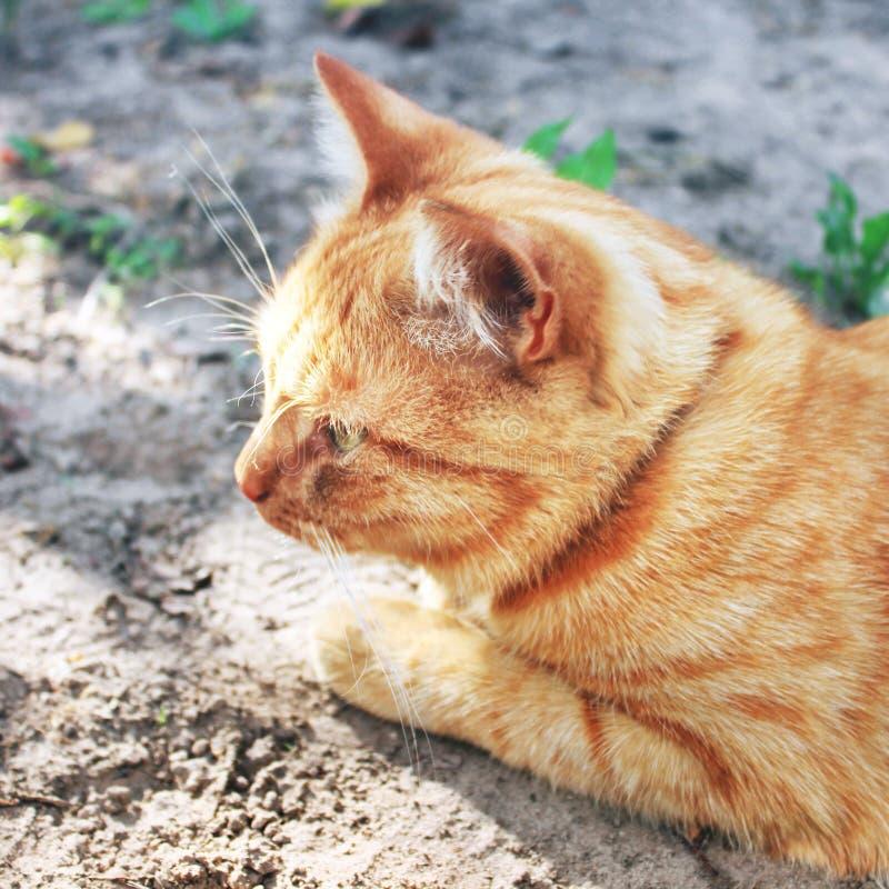 Härligt rött kattslut upp fotografering för bildbyråer